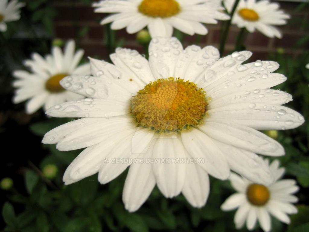 Daisy Dance by Cendra16