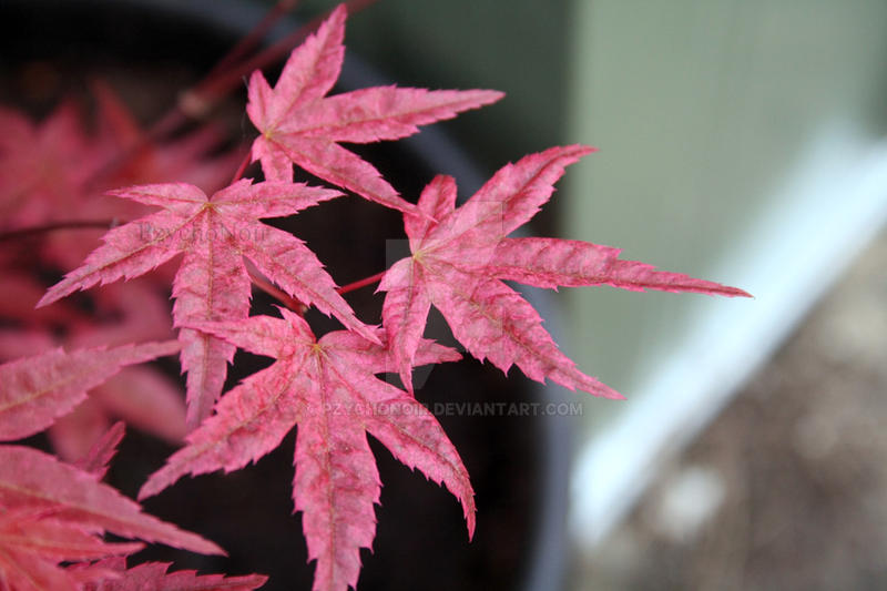Japanese Acer II by Pzychonoir
