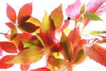 Eastern Leaves