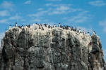 Guillemots on a cliff 2 by svendo
