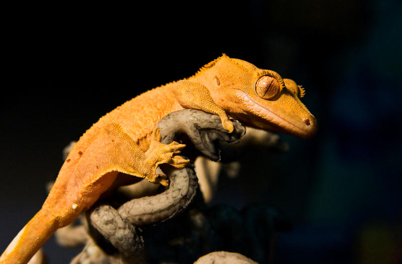 The Crested Gecko I By Vanimelir On Deviantart