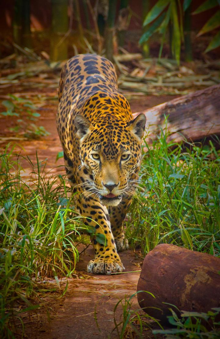 Jaguar II by Vanimelir