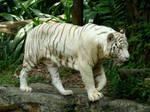 White Tiger Stock 1