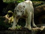 White Tiger Stock 2