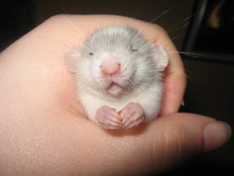 Widdle baby rat by LilTina