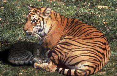 Tigers by FelineQueen