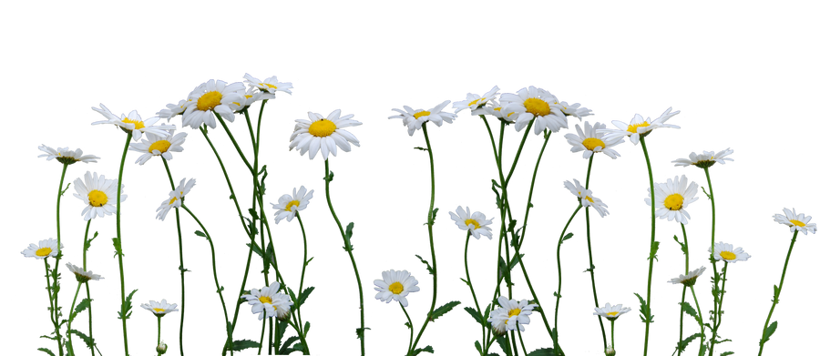 Image result for daisies