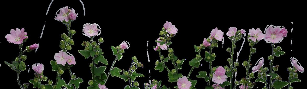 flower plants png. malvas by eirianstock flower plants png