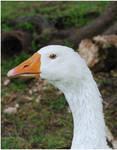White Goose I