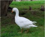White Goose II