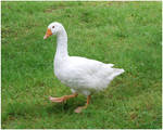 White Goose III