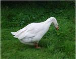 White Goose V