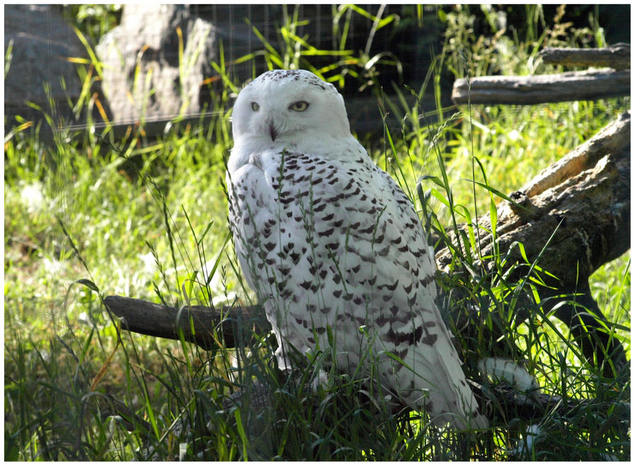 Snowy Owl II by Eirian-stock