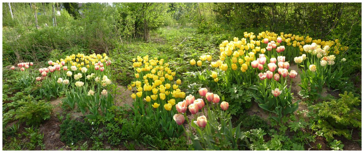 Tulips by Eirian-stock