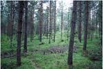BG Pine Forest II