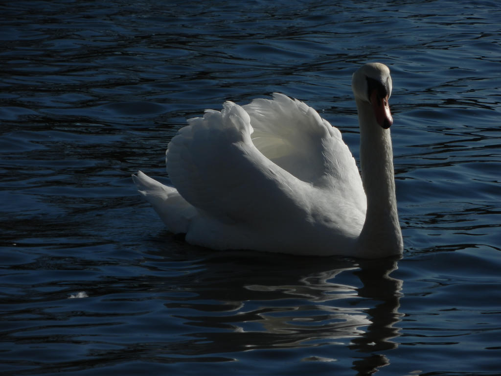 The Swan Song II by Eirian-stock
