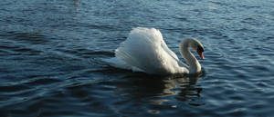 The Swan Song IV