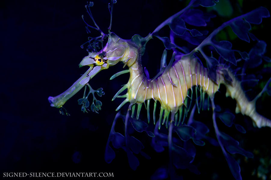 The Leafy Seadragon by signed-silence