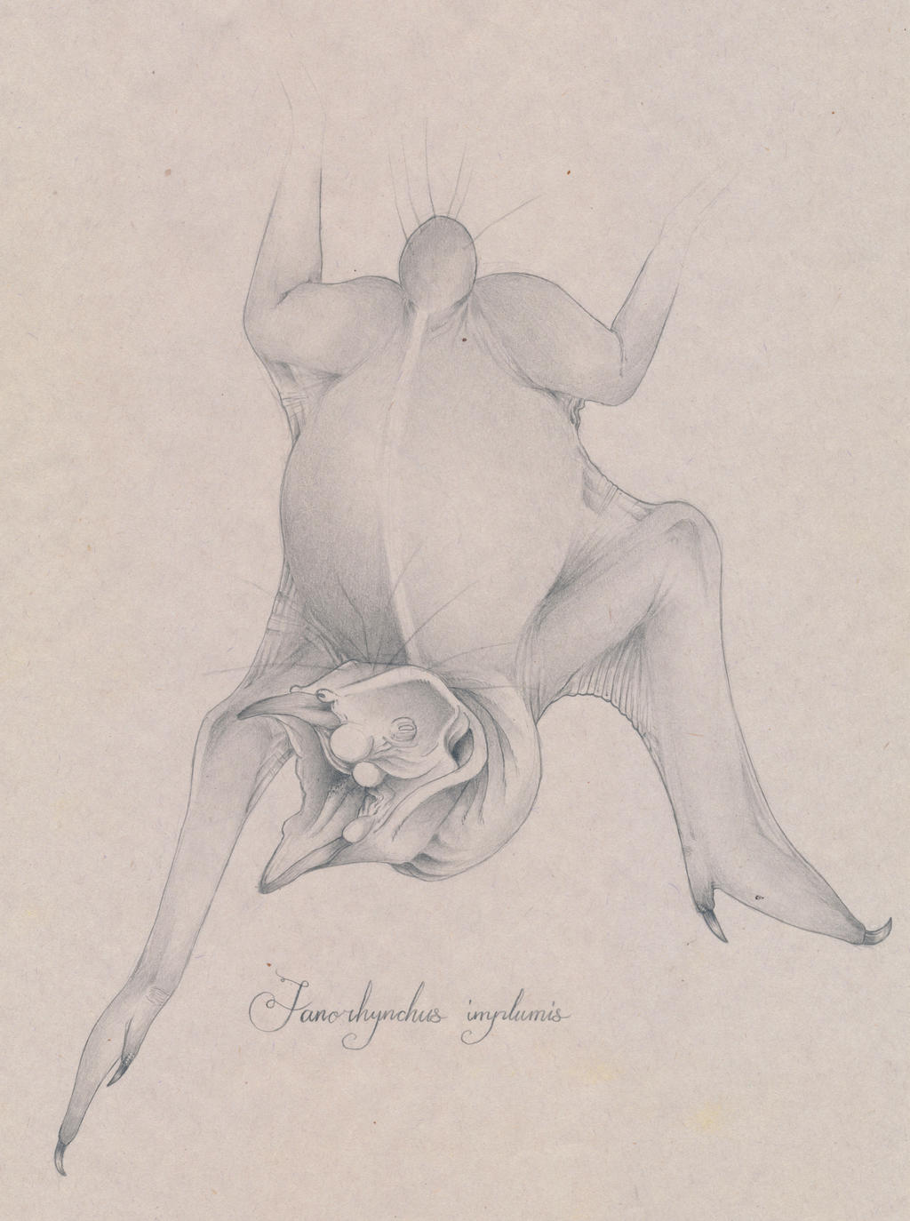 TERRA MIRUS: Fanorhynchus implumis by juniorWoodchuck