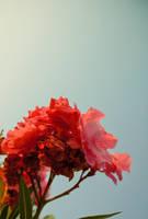 Pink Rose by cagacaga