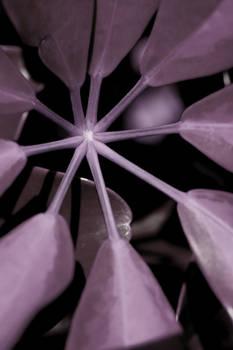 subjct purple