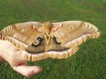 polyphemous moth.