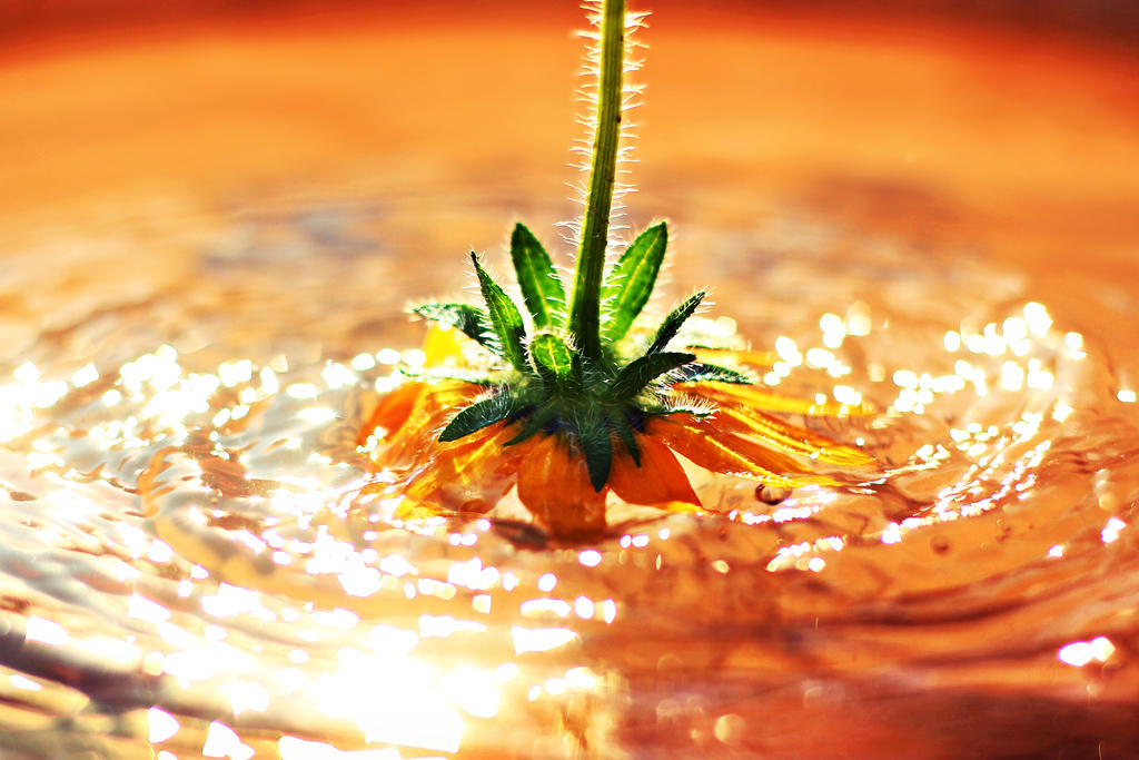 Sunflower by shadddow