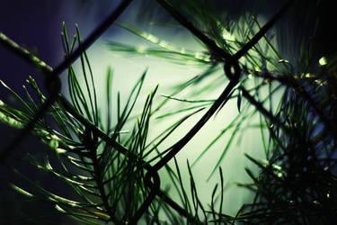 Pine by shadddow