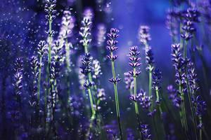 Lavender by shadddow