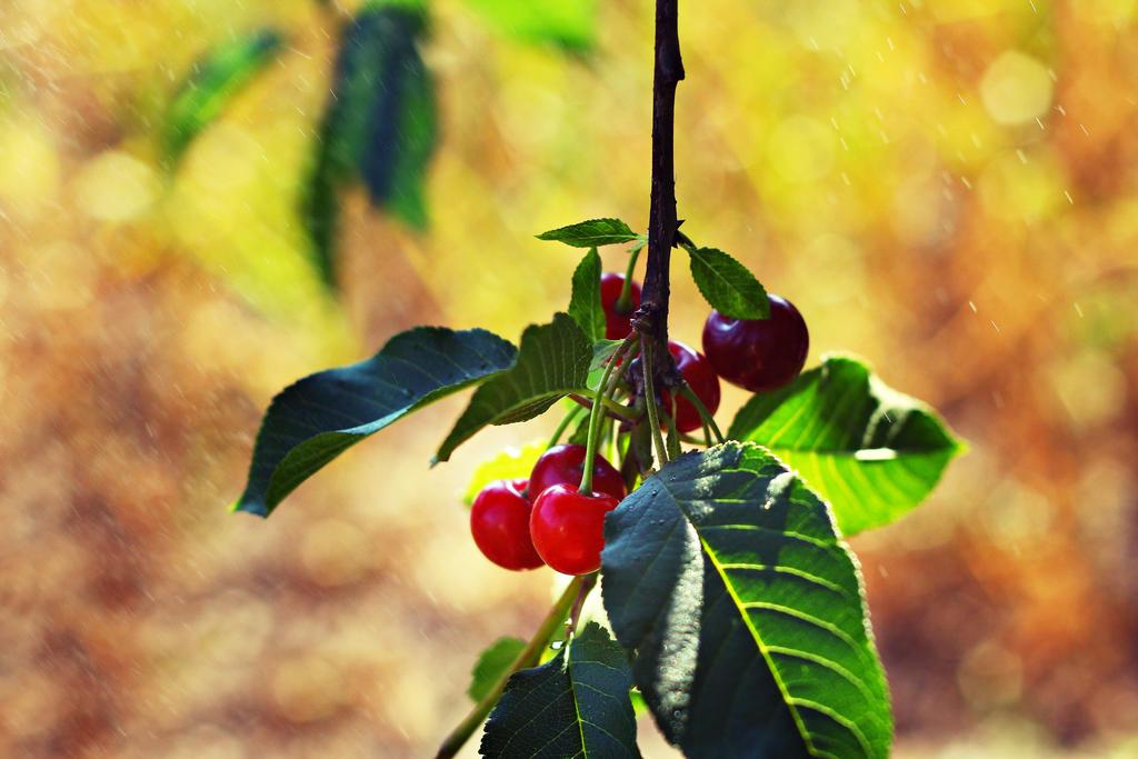 Cherries by shadddow