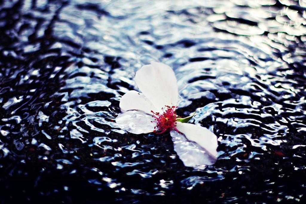 Rose. by shadddow