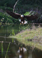 My Florida hometown eagles 3 by DPAdoc