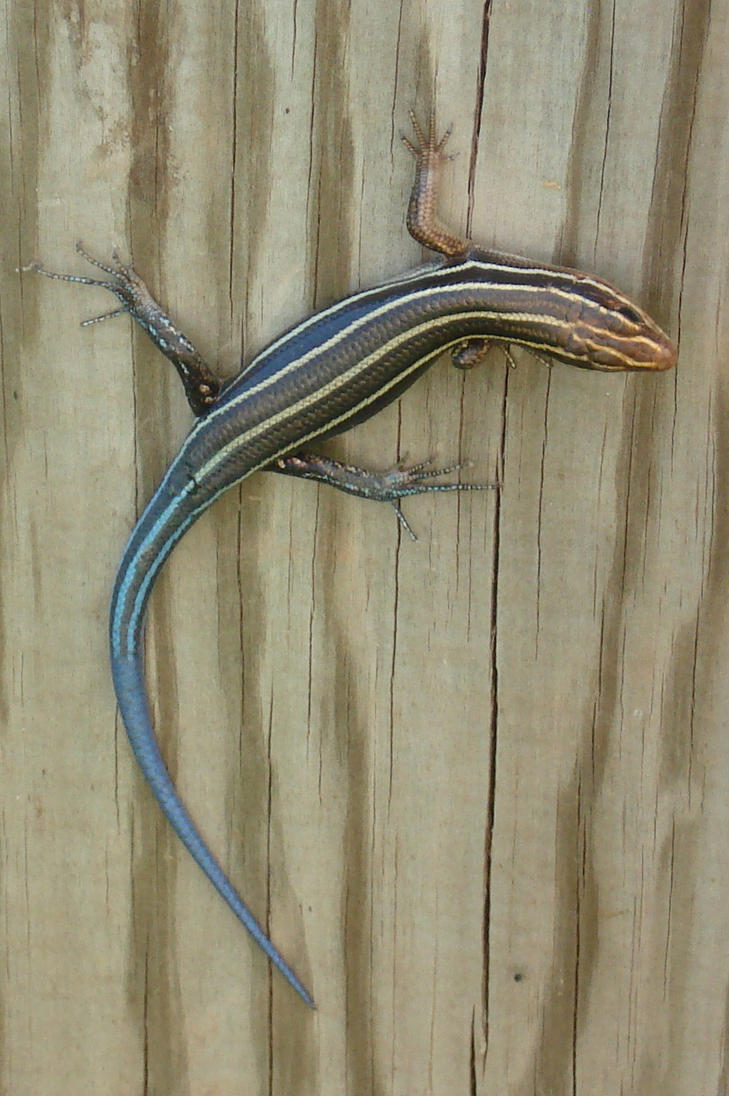 Lizard on the fence by Silvering