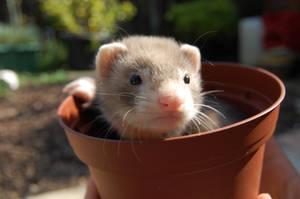 Baby ferret by XxEmilyRosexX