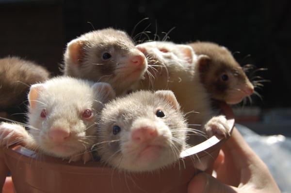 Baby ferrets.