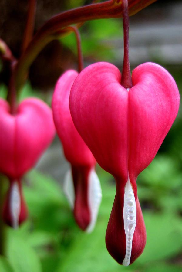 Bleeding heart by Moonbeam13