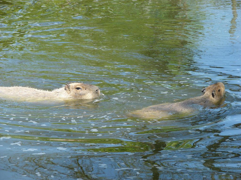 Swimming Capybaras by Pappasaurus on deviantART
