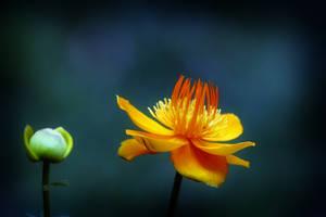 Asian Globe Flower by Vividlight