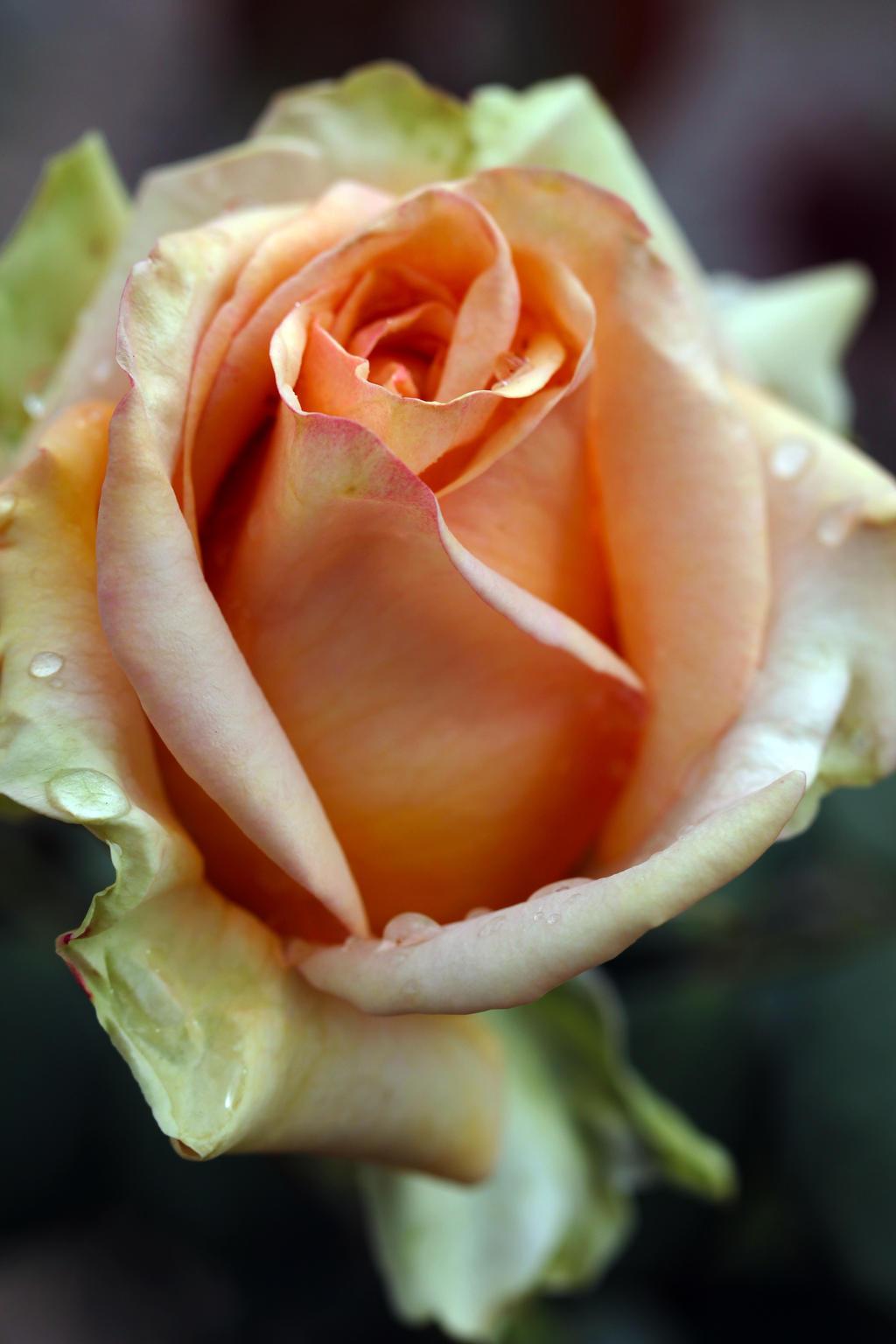 Lady Rose by Vividlight