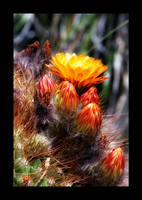 Cactus Flower And Budds