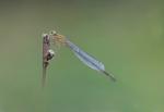 Blue-tailed Damselfly - Ischnura elegans by JohnDoe2500