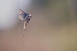 Common blue - Polyommatus icarus 1