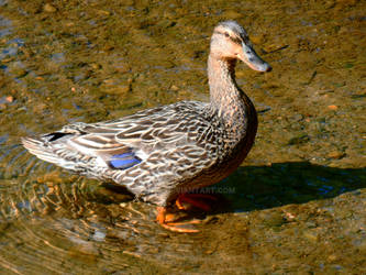 Female Mallard in Charlottesville creek