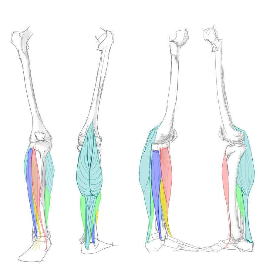 Anatomy studies - lower leg muscles by Eat-At-Eriks on DeviantArt