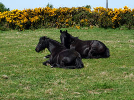 Black horses 02 by Kennelwood-Stock