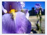 Iris - Episemon Naturae