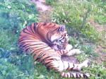 Tiger by SolarXolverite