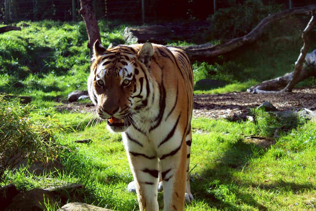 Male adult tiger by SolarXolverite