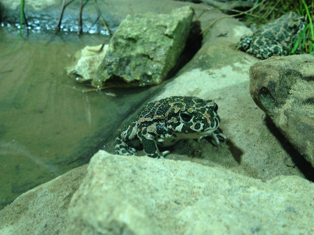Green spotted toad.  by SolarXolverite