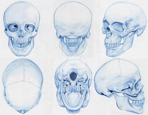 Anatomy: Skull by YukeraYasha on DeviantArt